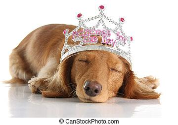 Dog princess - Tired dachshund wearing a princess crown.