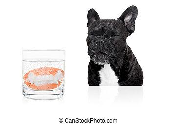 dog prosthetic teeth - french bulldog dog with false set of...
