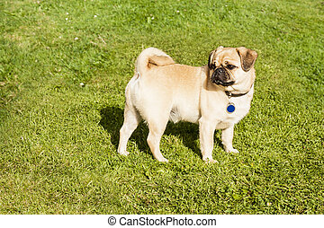 Dog Pug on green grass in a park