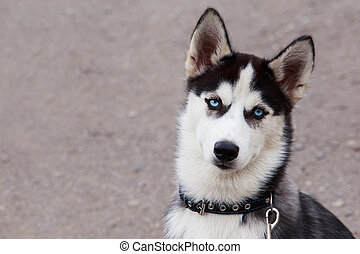 Dog puppy breed Siberian husky