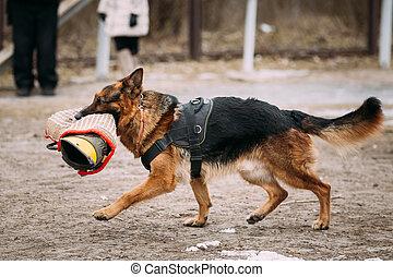 dog., purebred, berger, allemand, jeune, chien, attaque, loup, ou, alsacien