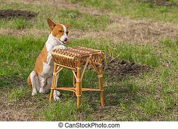 Dog puts paw on a wicker stool