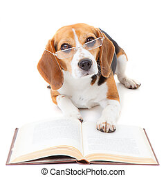 dog reading book  - beagle dog wearing glasses reading book