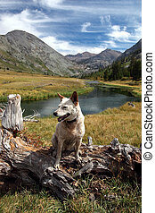 Dog: Red Heeler in the High Mountains - Red heeler...