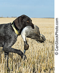 A Hunting dog retrieving a duck