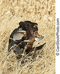 A hunting dog retrieving a rooster pheasant