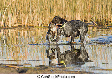 Hunting dog retrieving a Mallard Duck