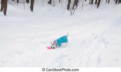 Dog retrieving a toy