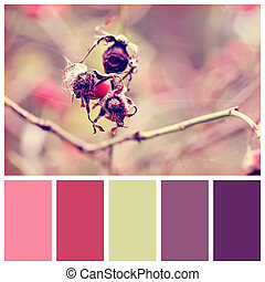 Dog rose berries in garden with complimentary colour swatches
