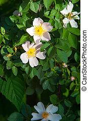 dog-rose, briar, brier, canker-rose, eglantine. rose flowers...