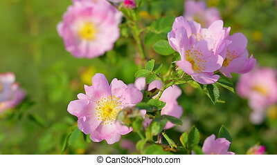 Dog rose bush in the breeze