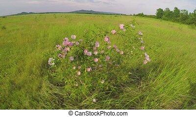 Dog rose bush in the wind in the field