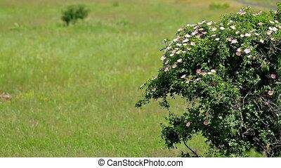 Dog rose bush in the wind