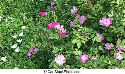 Dog-Rose Bush - Pink dog-rose bush mixed with other species...