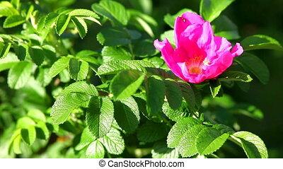 dog rose bush