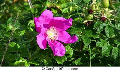 dog-rose, close-up