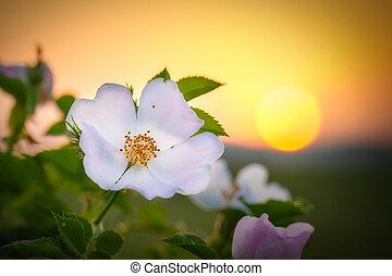 Dog rose flower in s sunset light at springtime