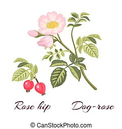 Dog rose flowers and rose hips. - Dog-rose branch with ...