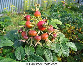 Dog rose fruits (Rosa canina)
