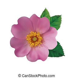 Dog rose hip - Realistic pink flower of a dogrose on a white...