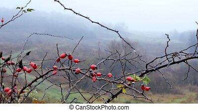 dog rose tree background