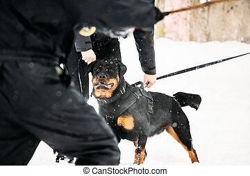 dog., rottweiler, formation, défense, metzgerhund, attaque, adulte