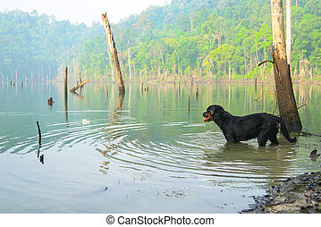 Dog Rottweiler in the water on a misty lake