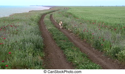 Dog running along a dirt road in a field