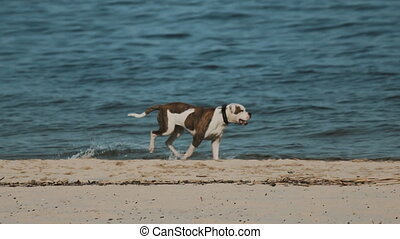 Dog running along the water on the beach