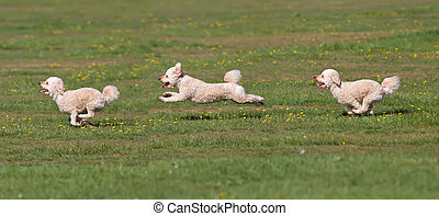 Dog running in a field. Time lapse.