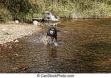 Dog Running in Creek