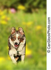dog running in summer meadow - mixed breed dg running in...