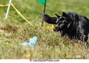 Dog running in the green field on lure coursing competition