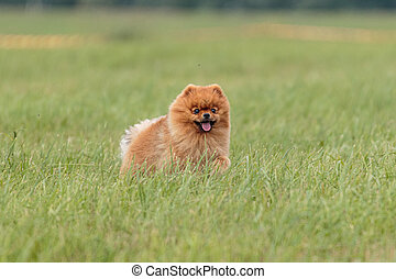 Dog running in the field on lure coursing competition