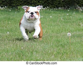 dog running in the grass - english bulldog 2.5 years old