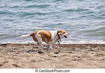Dog running on beach - Small wet dog running along a sandy ...