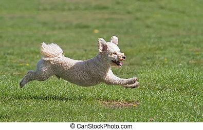 Dog running on grass - Dog captured in mid flight running on...