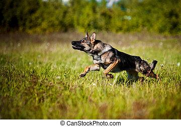 dog running on the field