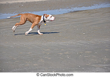 dog running on the sand - a single dog playing on a sandy ...