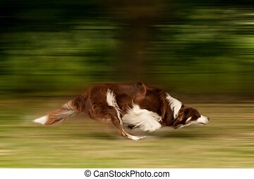 dog running - motion blur of a large dog running