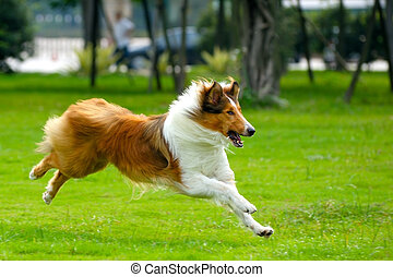 Dog running - Collie dog running on the lawn