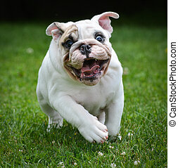 dog running - three month old male bulldog puppy