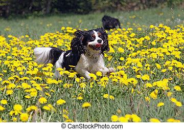 dog running through dandelions meadow