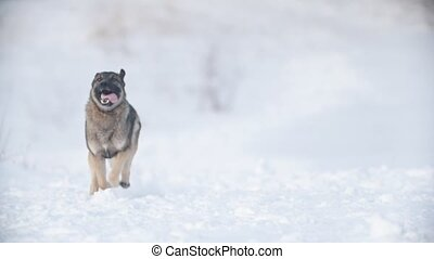 Dog running through the snow, slow-motion - Dog running...