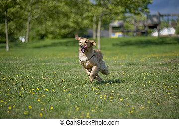 Dog runs in park - A Golden Retriever runs through a field ...