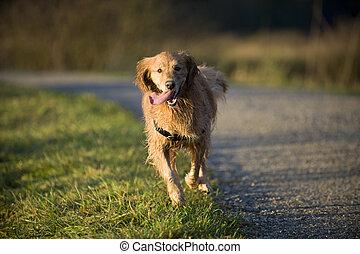 Dog runs toward camera with tongue hanging out