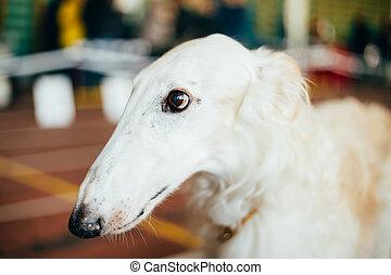 Dog Russian Borzoi Wolfhound - Dog Russian Borzoi Borzaya...