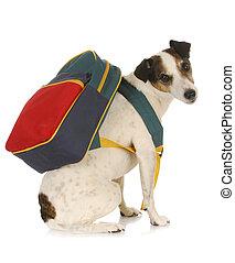 dog school - jack russel terrier wearing backpack on white...