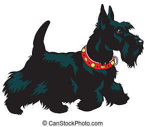 dog, scottish terrier breed, picture isolated on white background, side view image