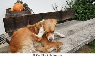 Dog scratching ear with paw - Adult cute dog scratching ear...